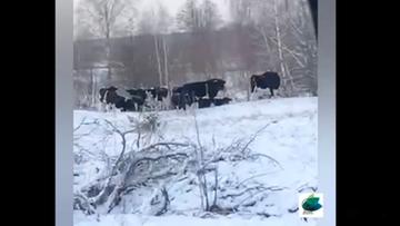 Zdziczałe krowy z Czarnobyla. Żyją w stadzie